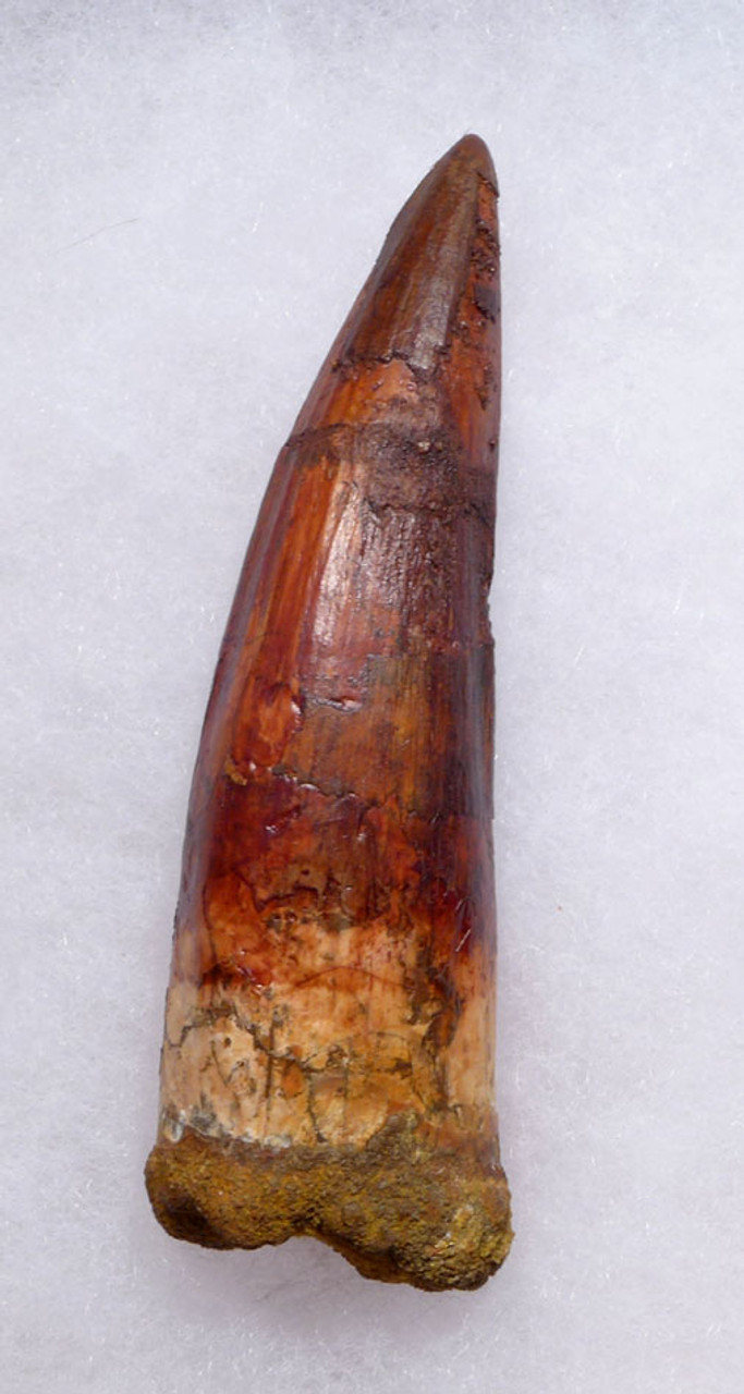 MASSIVE 4 INCH SPINOSAURUS TOOTH WITH AMAZING SHARP TIP FROM A HUGE DINOSAUR *DT5-346
