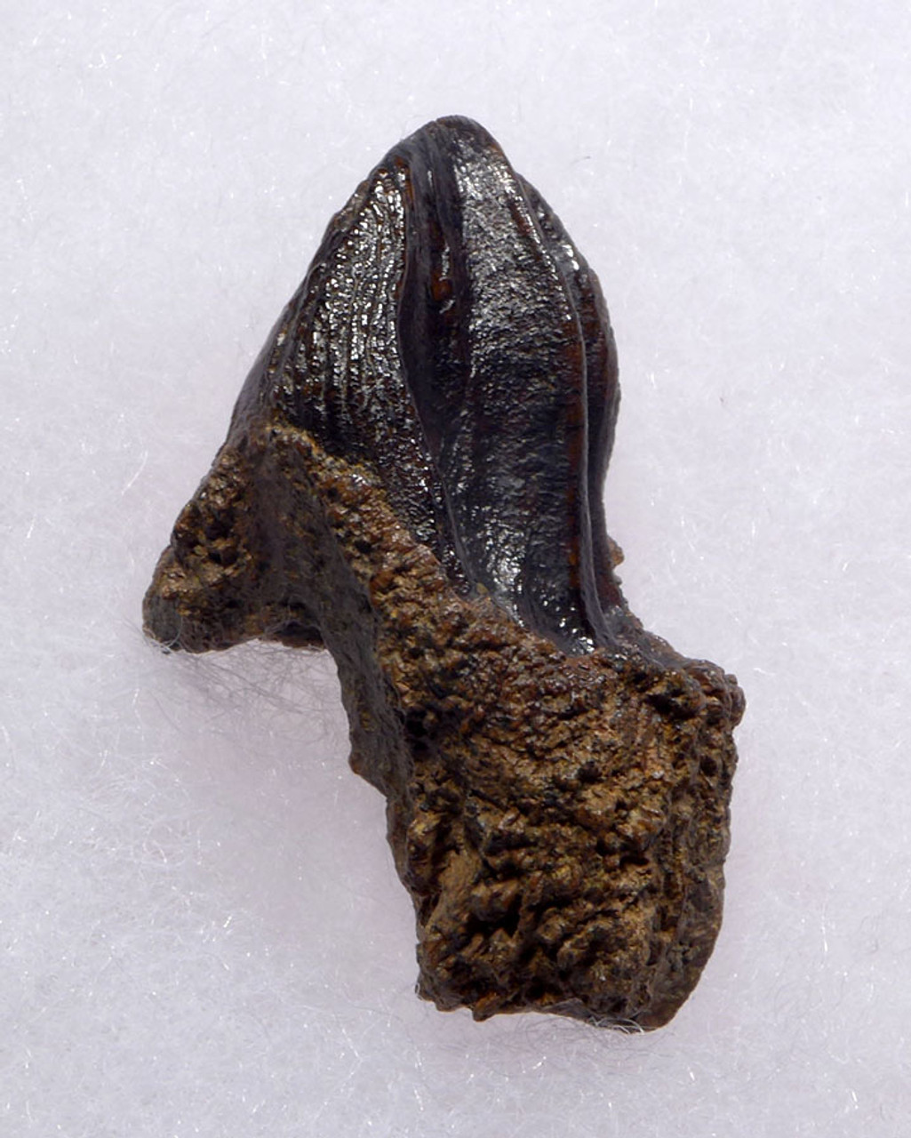 FINEST LARGE TRICERATOPS DINOSAUR TOOTH WITH UNWORN CROWN AND ROOT *DT19-039