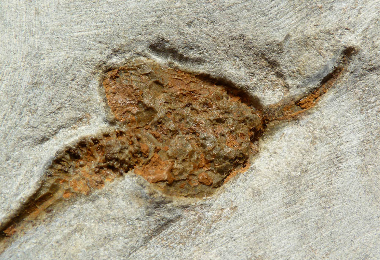 LARGE NATURAL GROUPING OF ORDOVICIAN CARPOID FOSSILS *CARP002
