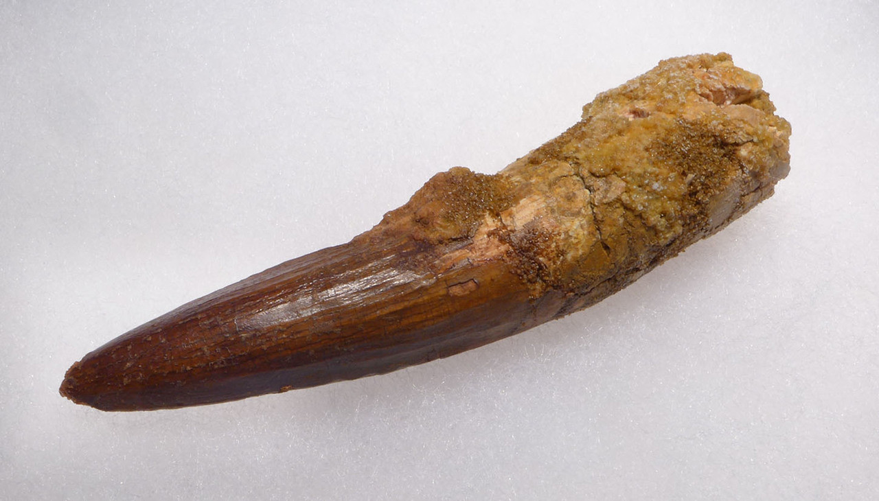 LARGE 3.5 INCH SPINOSAURUS DINOSAUR TOOTH WITH SHARP TIP *DT5-364