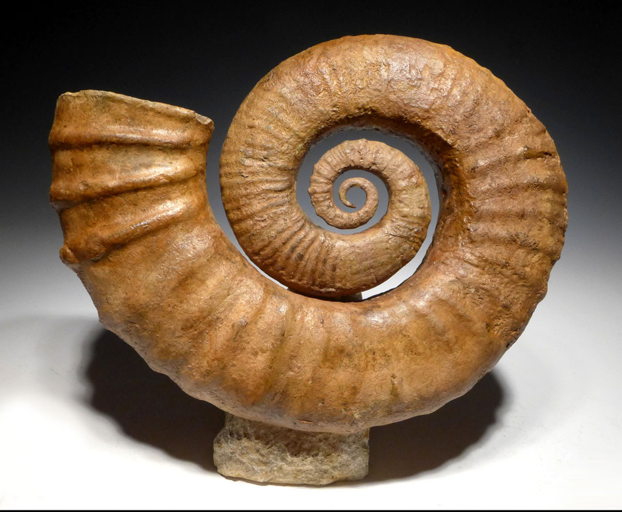 SUPERB INTERIOR DESIGN FOSSIL RARE OPEN COIL HETEROMORPH AMMONITE *AMX384
