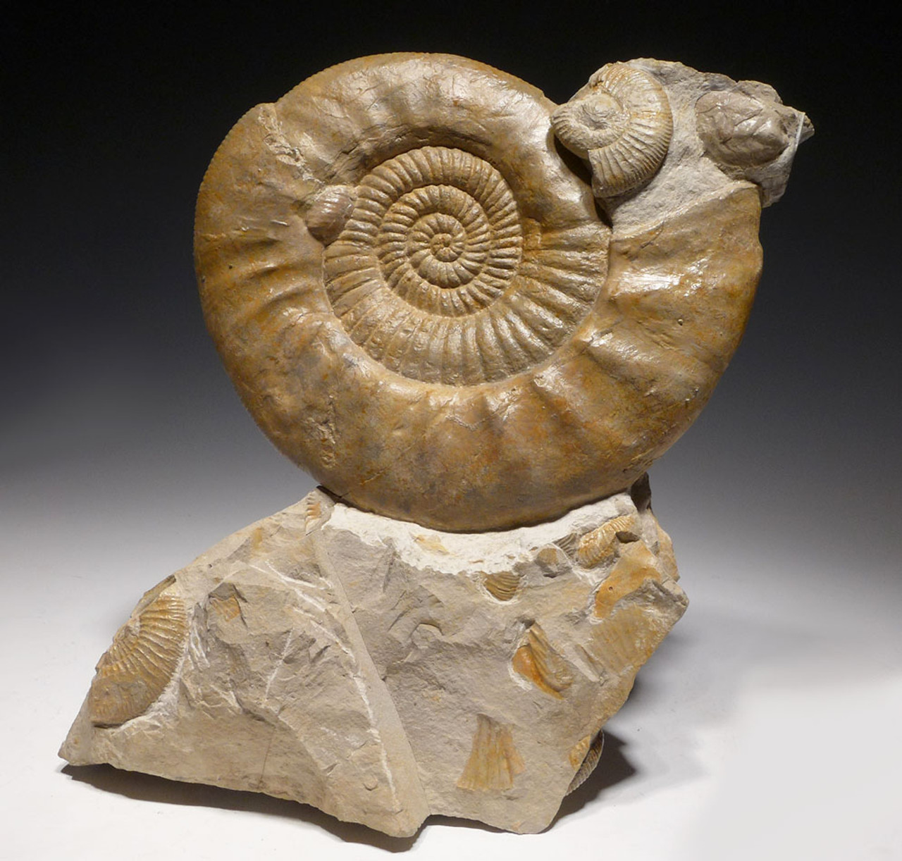 IMPRESSIVE LARGE AMMONITE INTERIOR DESIGN SEA LIFE FOSSIL WITH PREHISTORIC OYSTERS *AM2X