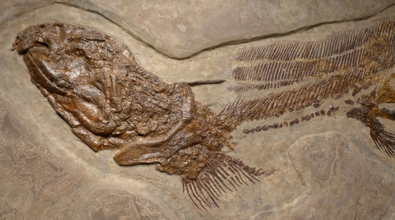 FINEST MUSEUM FOSSIL GIANT LEBACHACANTHUS ORTHACANTHUS SHARK FROM PERMIAN PERIOD *F130