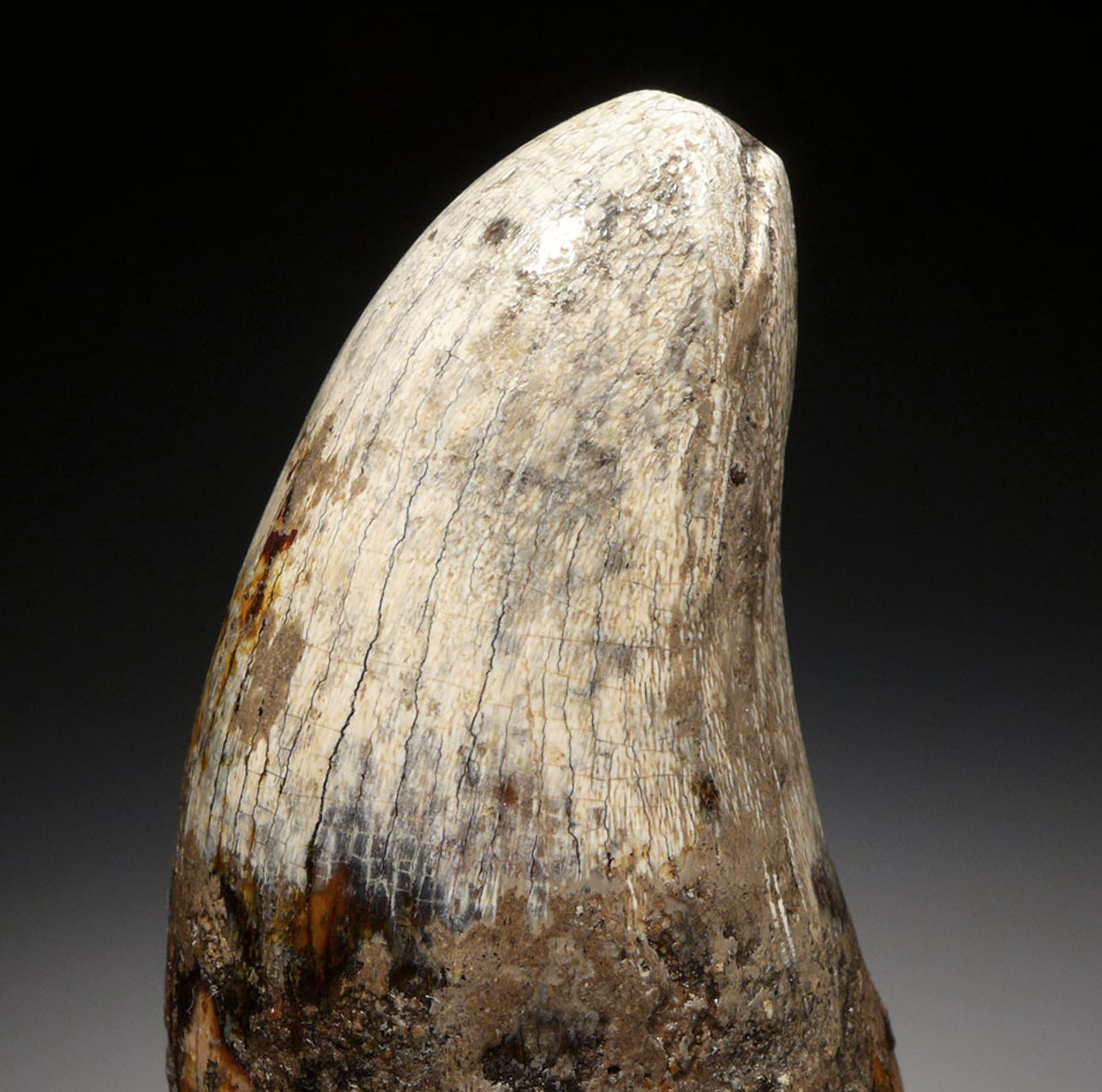 OUR LARGEST AND FINEST FOSSIL TOOTH FROM A JAVA MAN KILLER PREHISTORIC CROCODILE OF THE FAMOUS HOMO ERECTUS DEPOSITS OF SOLO RIVER INDONESIA *CROC049