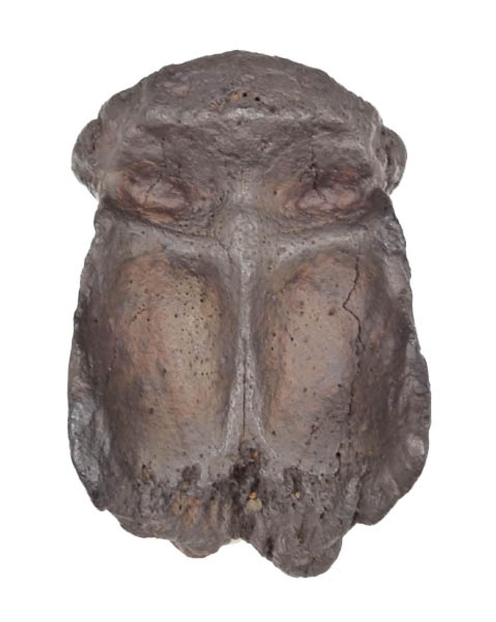 ULTRA RARE INTACT CRANIUM OF THE EARLIEST KNOWN PROTOSIRENIAN SEA COW FROM THE EOCENE *MV31-001