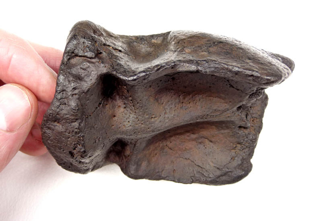 ULTRA RARE INTACT CRANIUM OF THE EARLIEST KNOWN PROTOSIRENIAN SEA COW FROM THE EOCENE *MV31-001