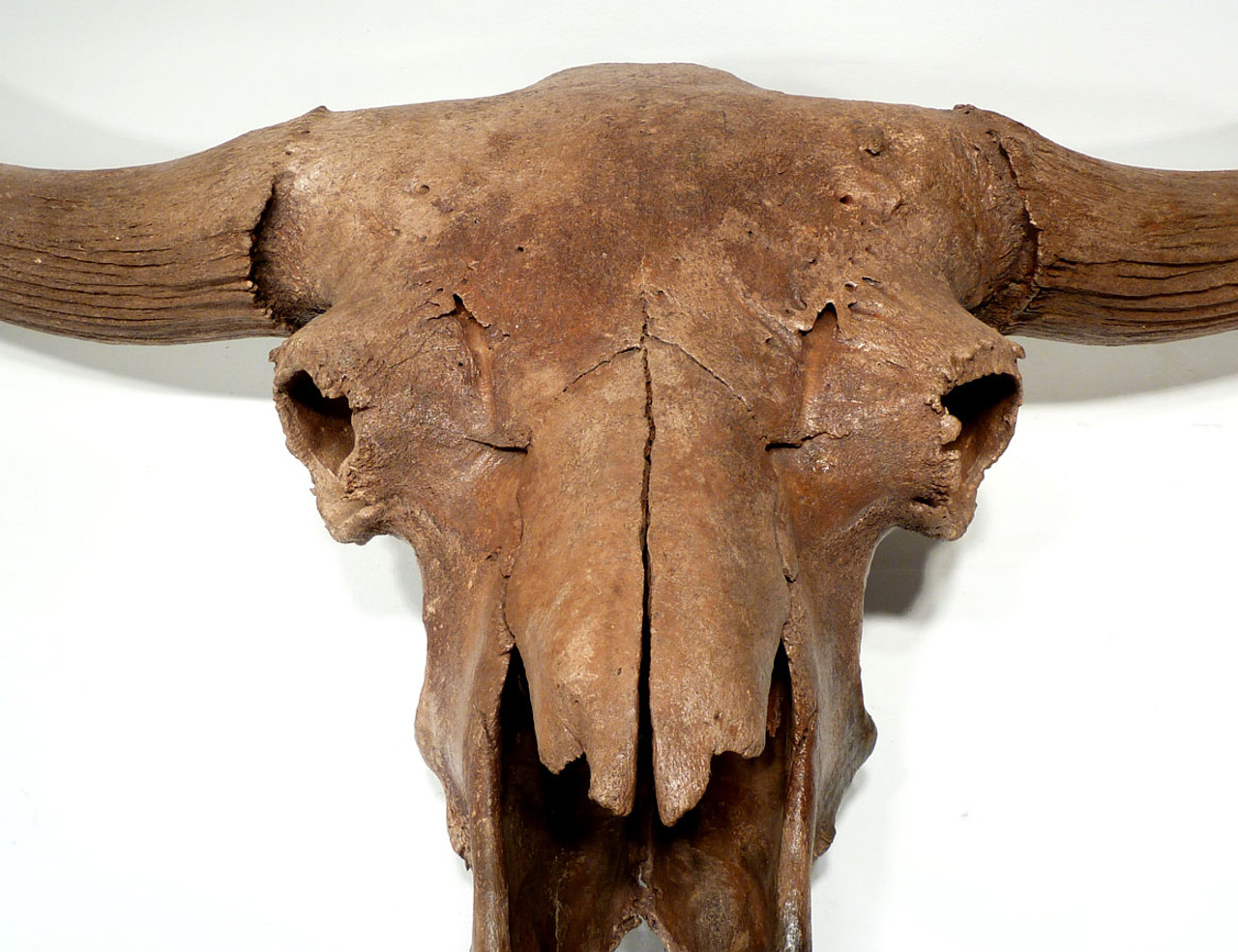 MUSEUM-CLASS COMPLETE EUROPEAN ICE AGE STEPPE WISENT BISON SKULL FROM EUROPE *BX001