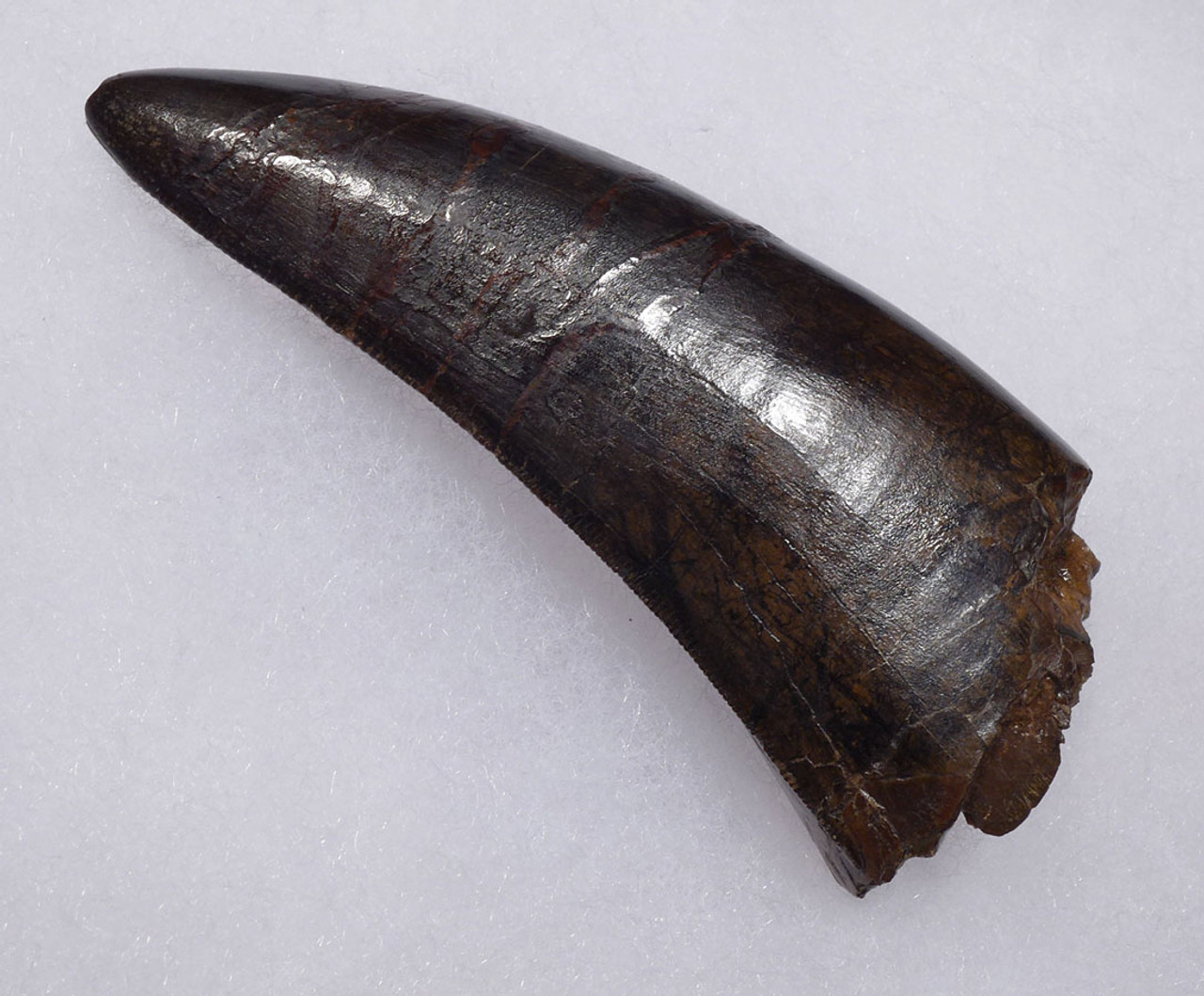ULTRA RARE 3.65 INCH LARGE INVESTMENT GRADE TYRANNOSAURUS REX TOOTH FROM A MAXIMUM SIZE T REX *DTX1802