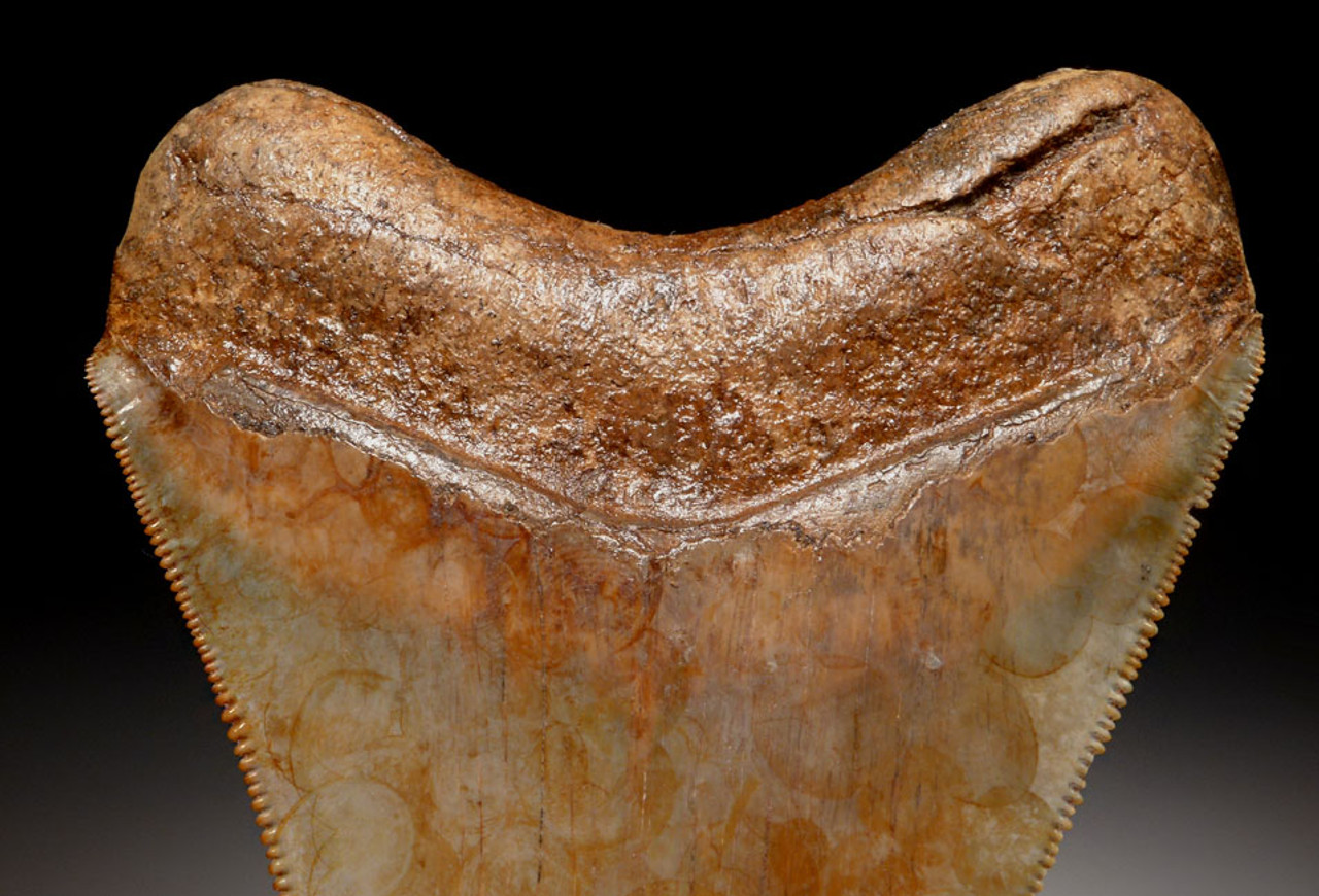FINEST GRADE 3.5 INCH GOLD AND RED MEGALODON SHARK TOOTH WITH STUNNING MOTTLED PATTERNS *SH6-342