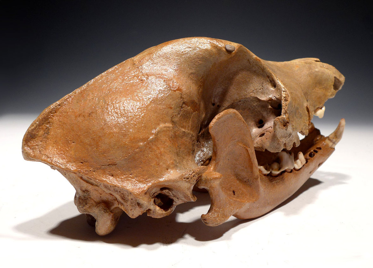 EXTREMELY RARE FOSSIL DOG SKULL FOUND BY CELTIC ROMAN SITE IN HOLLAND *LMX182