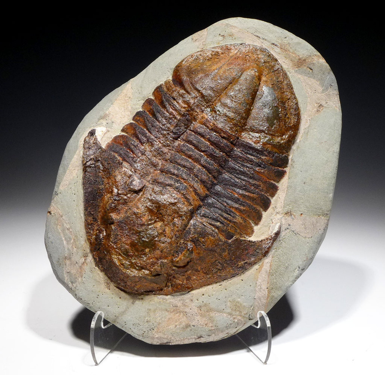 PREMIUM ASAPHID TRILOBITE WITH STUNNING COLORS AND CHOICE PRESERVATION *TRRD01