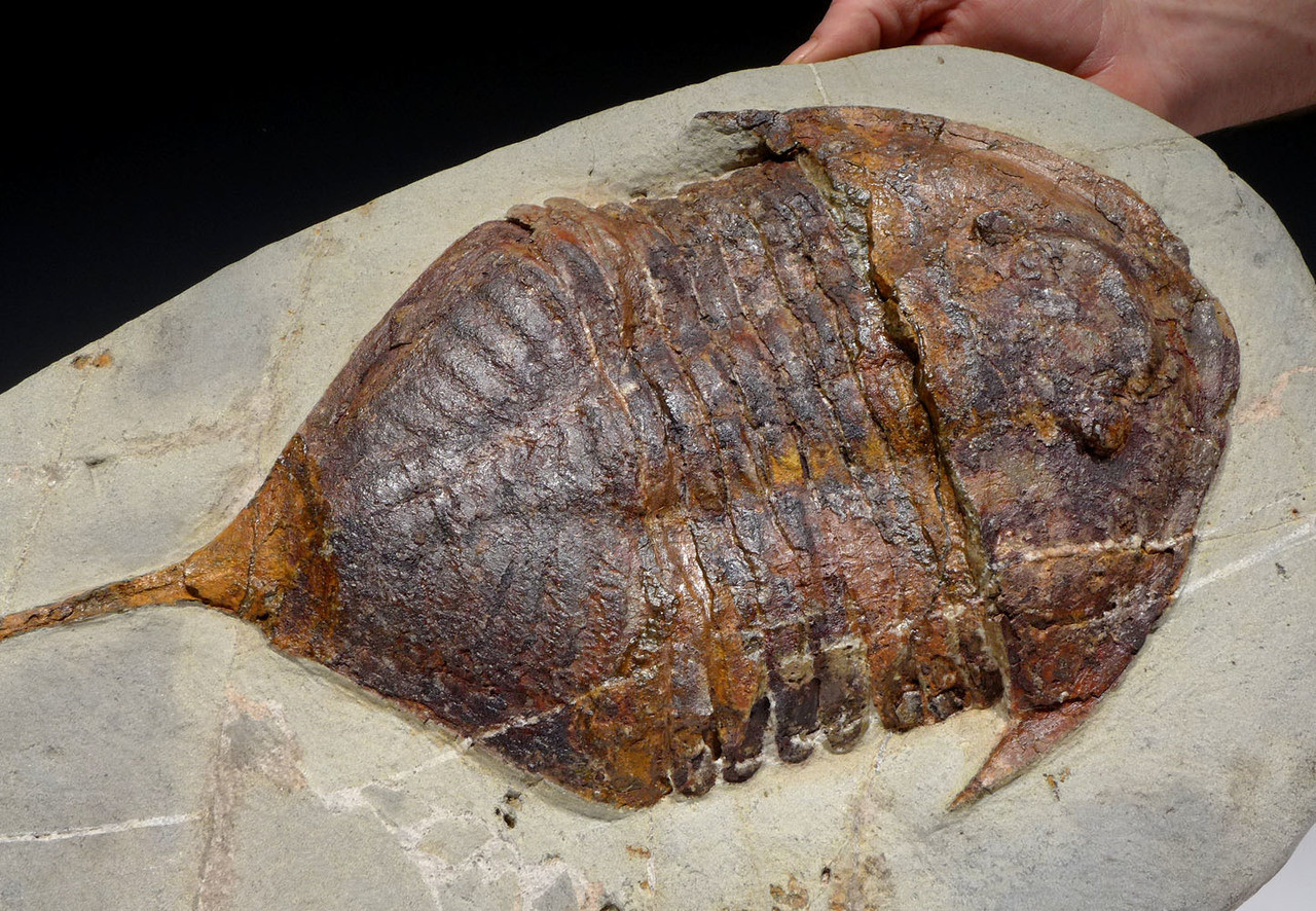 EXTREMELY RARE SPINY TAIL ASAPHID ORDOVICIAN ASAPHUS TRILOBITE FOSSIL *TRSP01