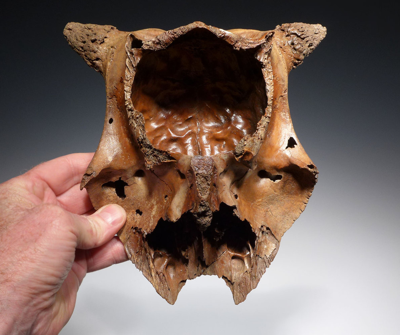 RARE BABY PLEISTOCENE LATE AUROCHS PARTIAL SKULL FOSSIL FROM EUROPE *LMXS03