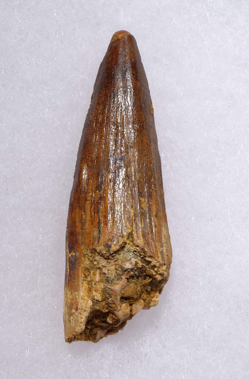 FINE UNBROKEN 2.2 INCH SPINOSAURUS DINOSAUR FOSSIL TOOTH WITH SHARP TIP *DT5-377