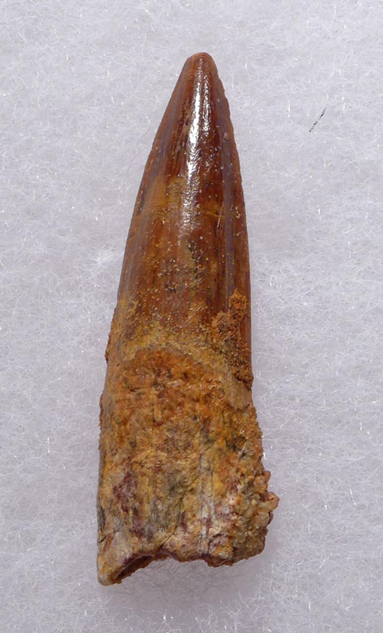 UNBROKEN 1.7 INCH SPINOSAURUS FOSSIL DINOSAUR TOOTH WITH SHARP TIP *DT5-371