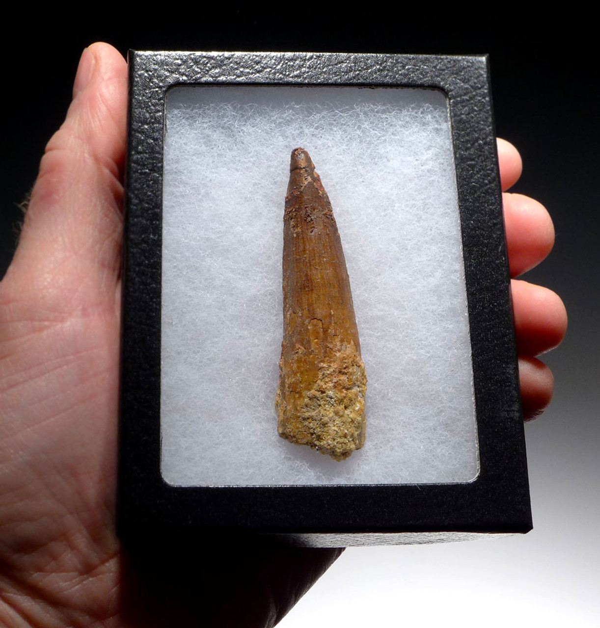 2.75 INCH SPINOSAURUS DINOSAUR FOSSIL TOOTH WITH SHARP TIP *DT5-401