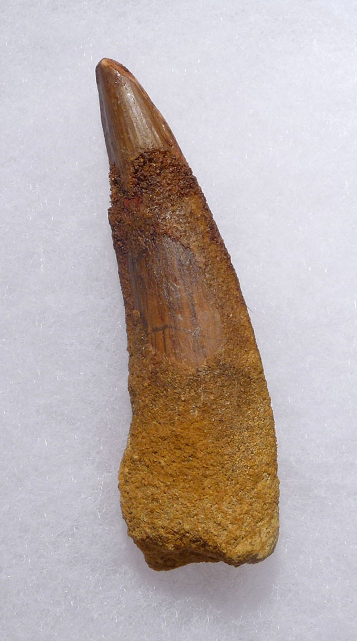 3 INCH INEXPENSIVE SPINOSAURUS DINOSAUR FOSSIL TOOTH *DT5-396