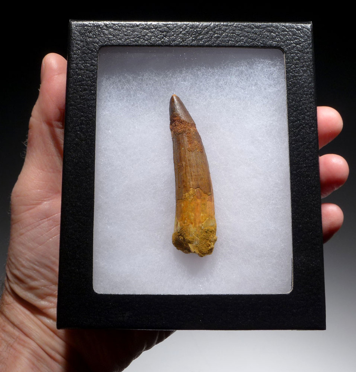 3 INCH INEXPENSIVE SPINOSAURUS DINOSAUR FOSSIL TOOTH *DT5-380