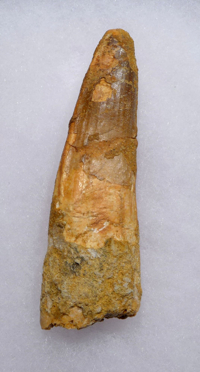 LARGE 3.25 INCH SPINOSAURUS DINOSAUR FOSSIL TOOTH *DT5-389