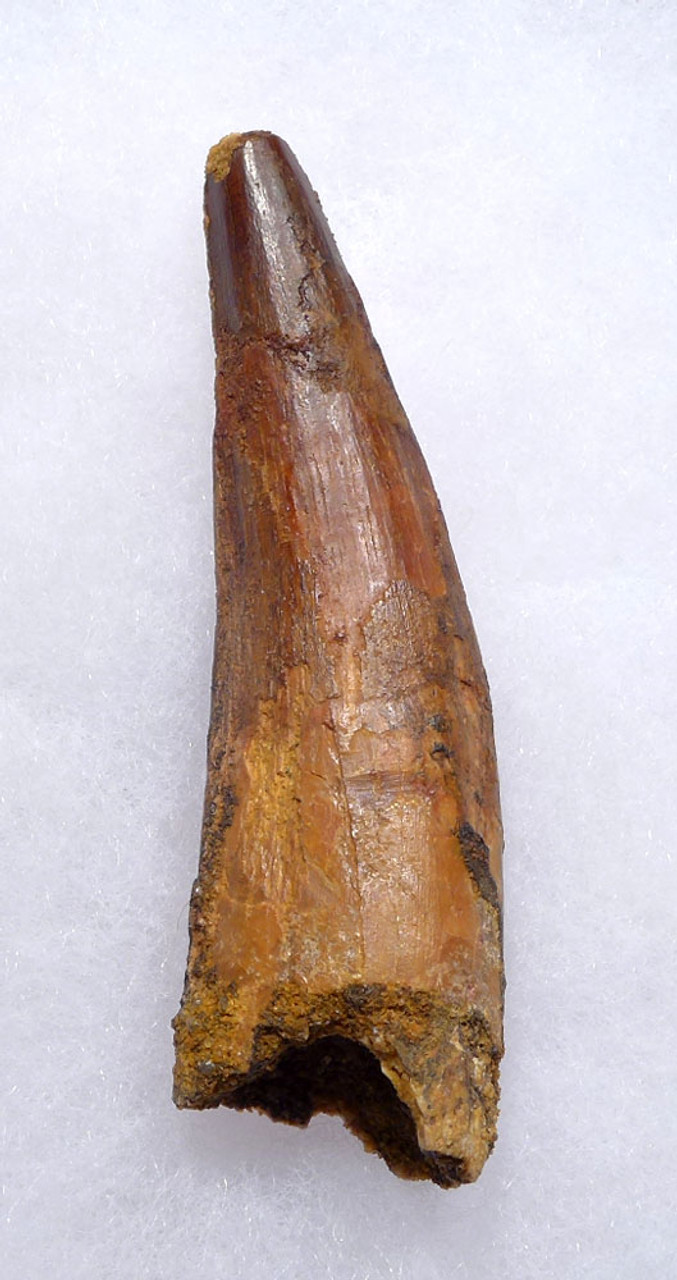 LARGE 3 INCH SPINOSAURUS DINOSAUR FOSSIL TOOTH *DT5-382