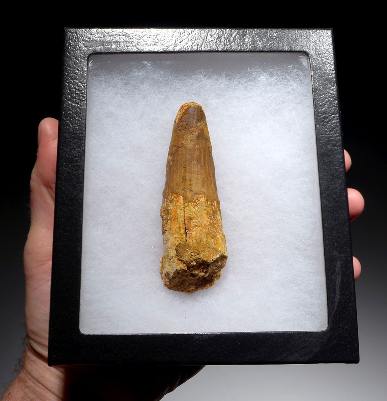 LARGE 3.4 INCH SPINOSAURUS DINOSAUR FOSSIL TOOTH *DT5-395