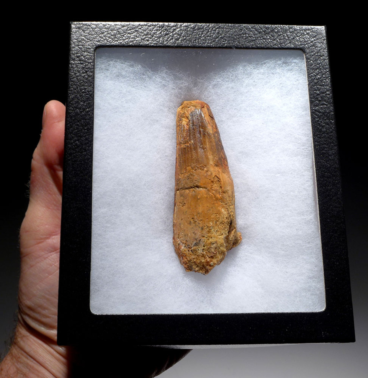 LARGE AND UGLY 3.5 INCH SPINOSAURUS DINOSAUR FOSSIL TOOTH *DT5-386