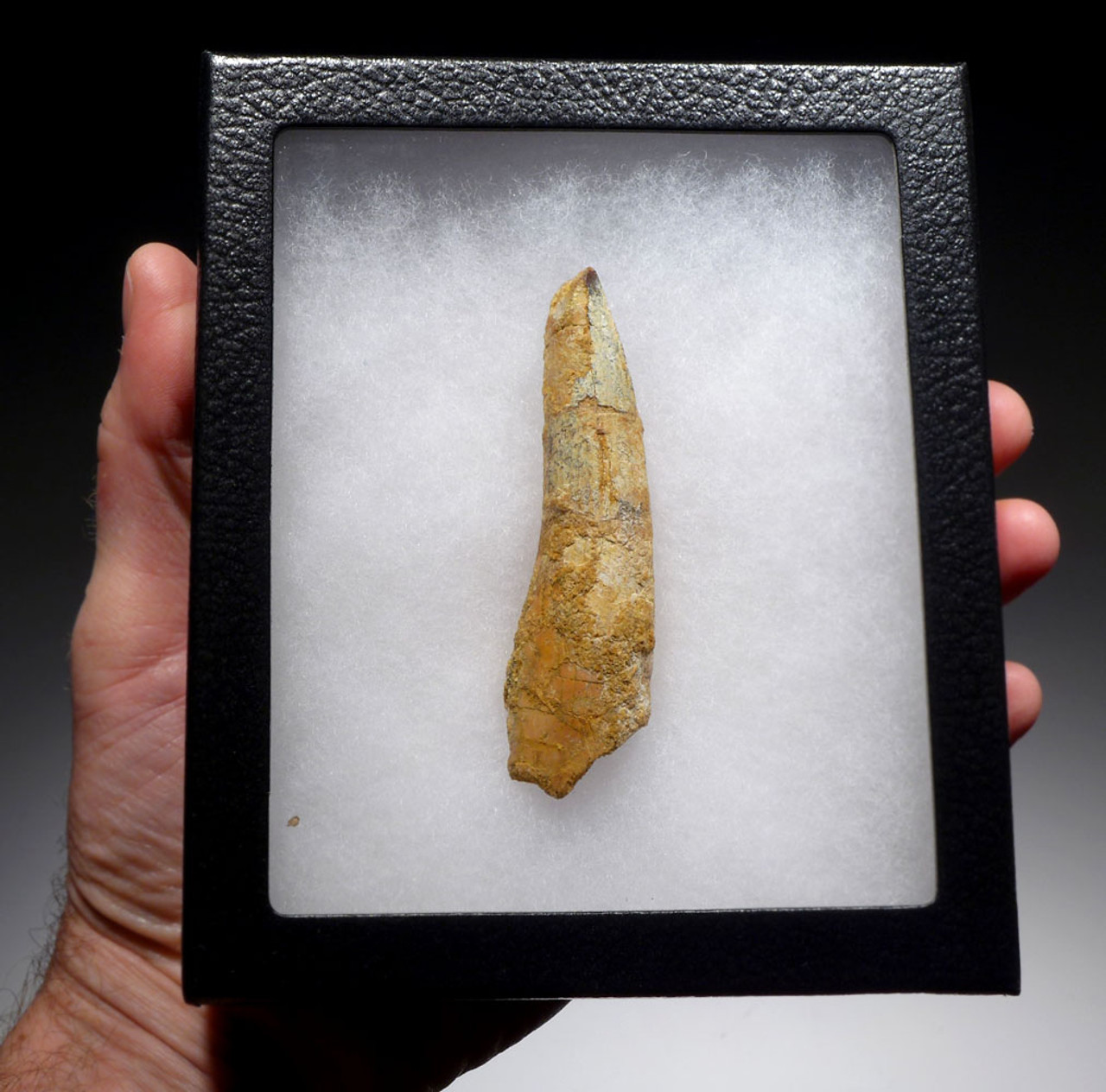 LARGE AND UGLY 3 INCH SPINOSAURUS DINOSAUR FOSSIL TOOTH *DT5-391