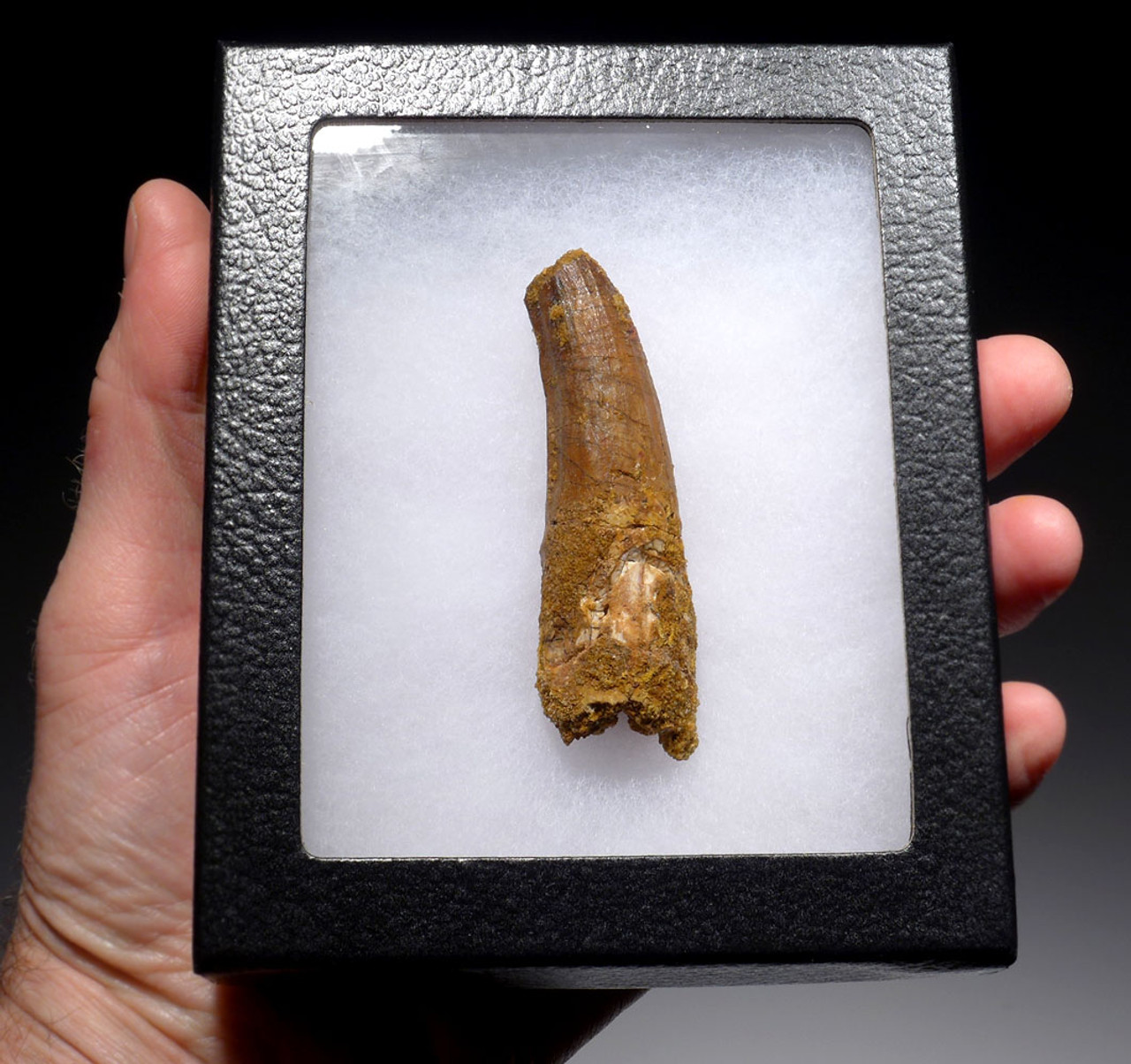 PATHOLOGICALLY DEFORMED 3 INCH SPINOSAURUS DINOSAUR FOSSIL TOOTH *DT5-387