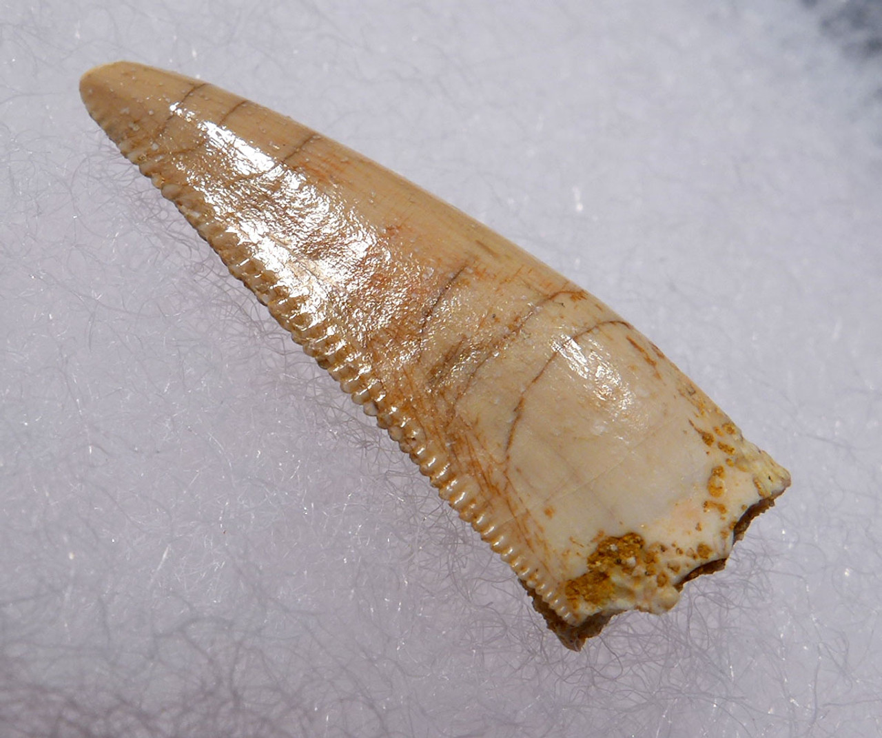 "LARGE RARE WHITE DROMAEOSAUR "" RAPTOR "" DINOSAUR TOOTH FROM THE FRONT OF THE JAW *DT6-309"