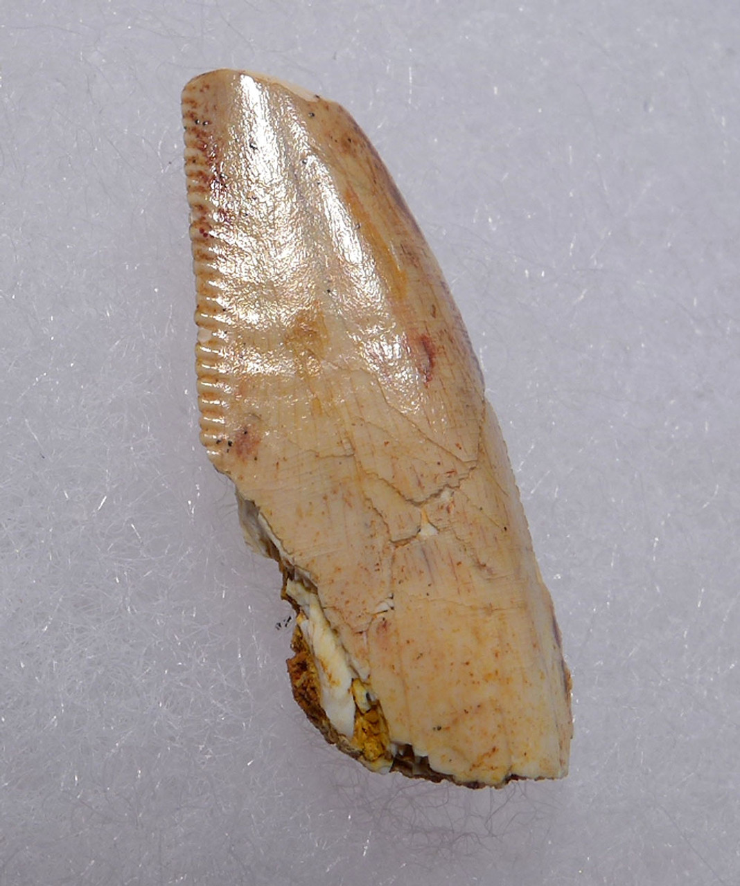 "LARGE WHITE DROMAEOSAUR "" RAPTOR "" DINOSAUR TOOTH WITH NATURAL FEEDING WEAR *DT6-310"