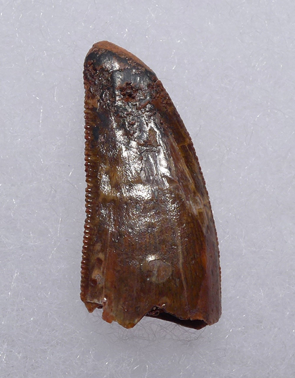 "EXCEPTIONALLY LARGE DROMAEOSAUR "" RAPTOR "" DINOSAUR TOOTH *DT6-301"