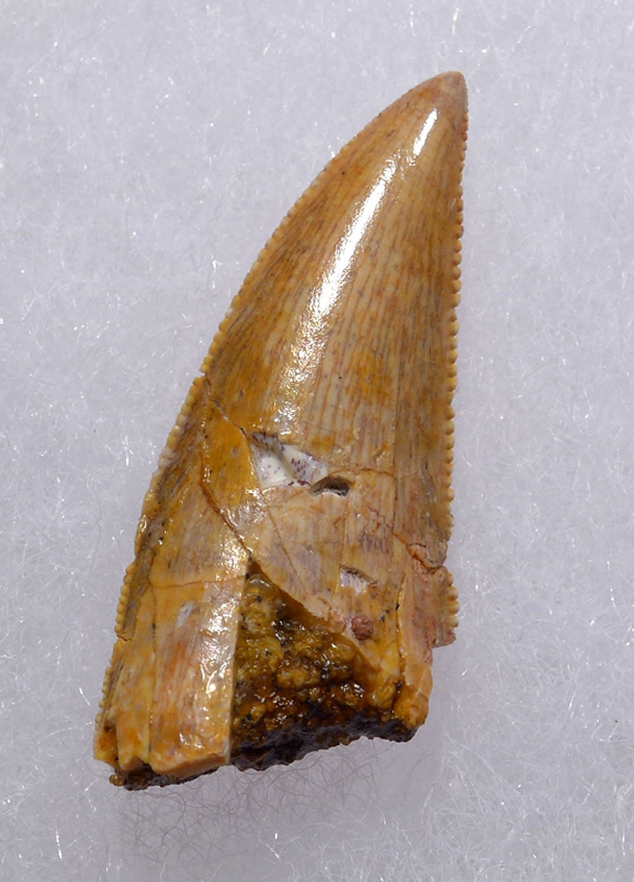 "EXCEPTIONALLY LARGE DROMAEOSAUR "" RAPTOR "" DINOSAUR TOOTH *DT6-305"