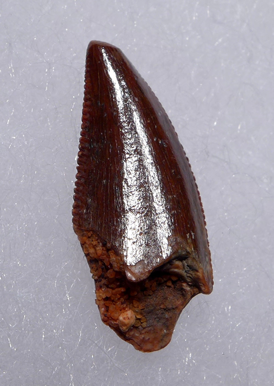 "EXCELLENT INTACT DROMAEOSAUR "" RAPTOR "" DINOSAUR TOOTH  *DT6-302"