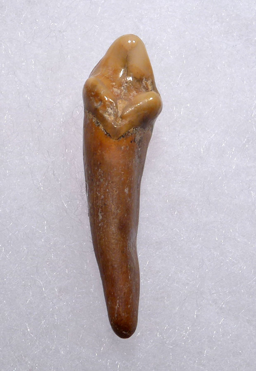 RARE CAVE BEAR FOSSIL TOOTH WITH ROOT FROM THE FAMOUS DRACHENHOHLE DRAGONS CAVE IN AUSTRIA *LM40-166