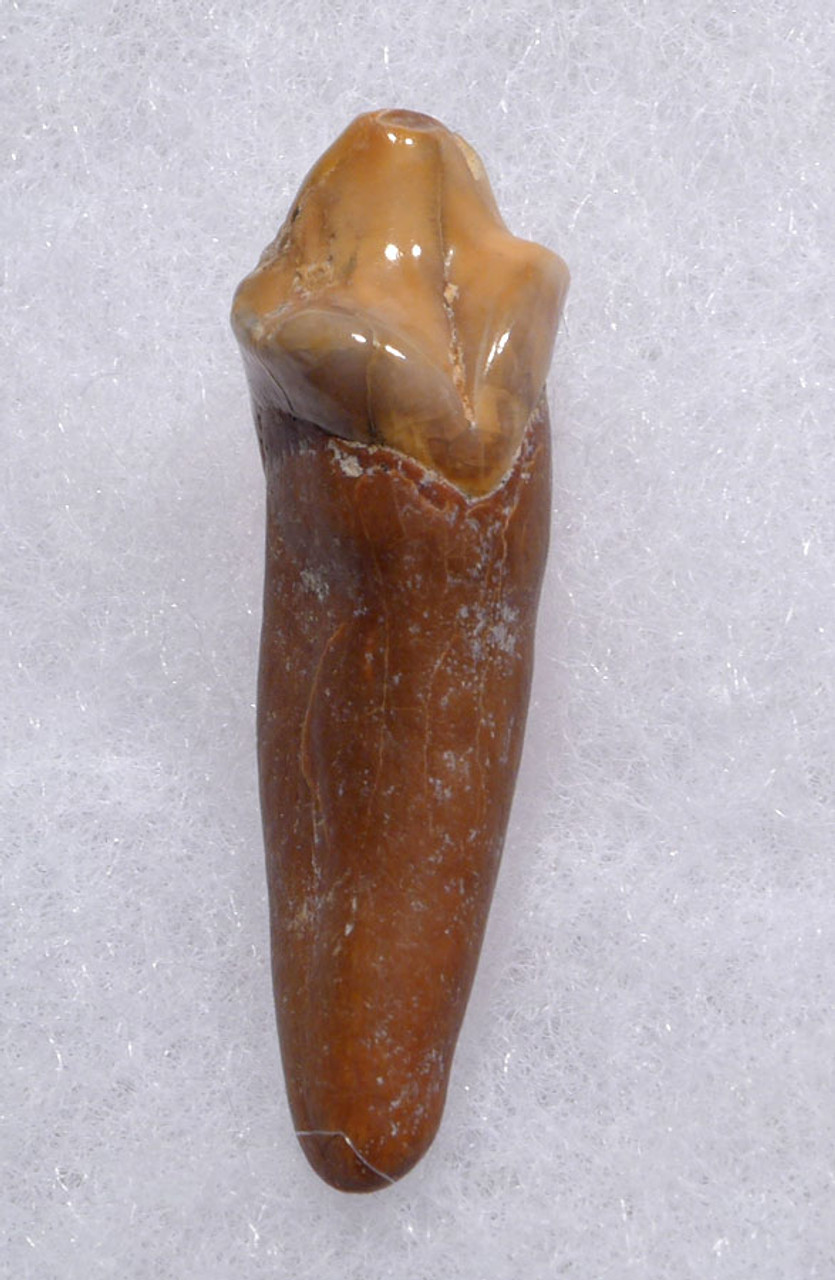 RARE CAVE BEAR FOSSIL TOOTH WITH ROOT FROM THE FAMOUS DRACHENHOHLE DRAGONS CAVE IN AUSTRIA *LM40-165