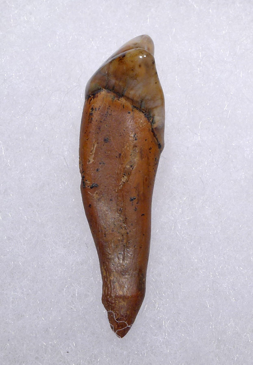 RARE CAVE BEAR INCISOR TOOTH FOSSIL FROM THE FAMOUS DRACHENHOHLE DRAGONS CAVE IN AUSTRIA *LM40-168