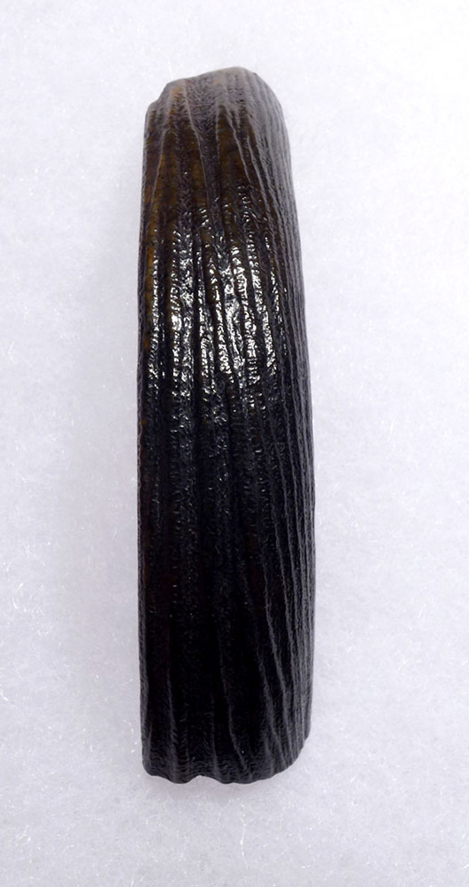 SUPERB GIANT BEAVER UPPER TUSK FOSSIL INCISOR CASTOROIDES  *LMX196