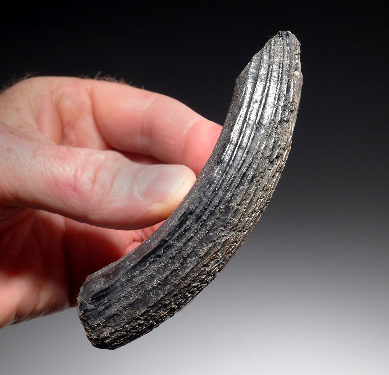 LARGE FAT UNBROKEN GIANT BEAVER FOSSIL TUSK INCISOR *LMX197