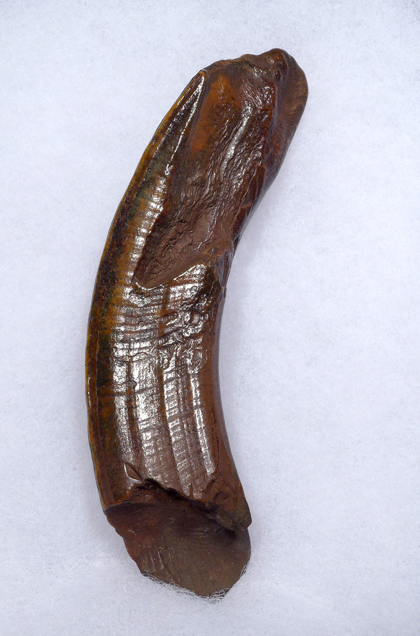 FINEST UNBROKEN GIANT BEAVER FOSSIL UPPER TUSK INCISOR WITH STUNNING COLOR *LMX198