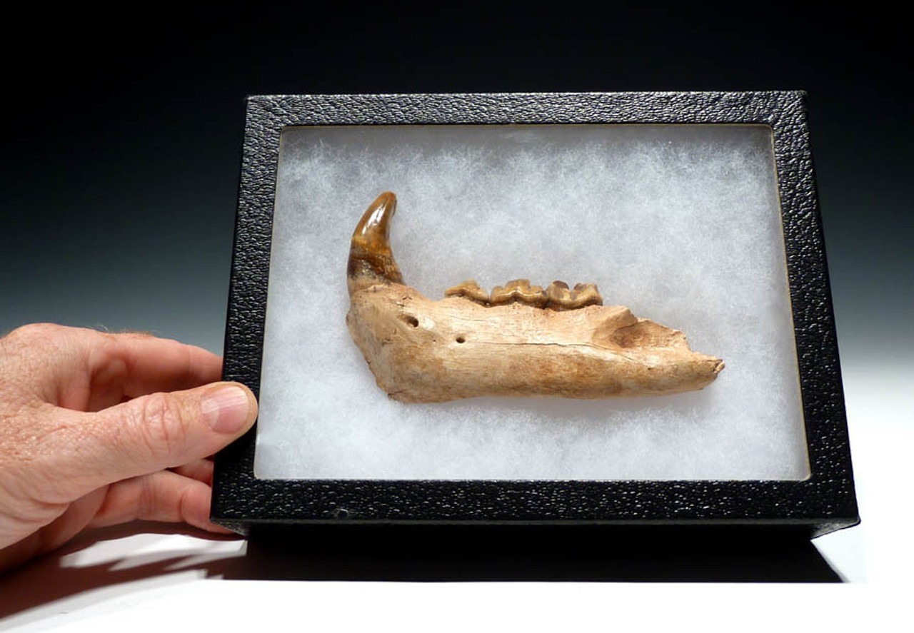 ULTRA RARE FOSSIL ICE AGE JAGUAR MANDIBLE WITH COMPLETE ORIGINAL ARRAY OF TEETH AND FANG *LMX035
