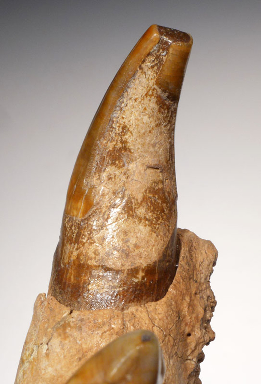INSIDE OF CANINE TOOTH LIGHT BROWN COLOR MATCHES THE BONE OF THE MANDIBLE WHICH PROVIDES VISUAL PROOF OF ITS ORIGINALITY TO THE REST OF THE FOSSIL.  ROOT AND CROWN COLOR ALSO MATCHES THE OTHER TEETH.