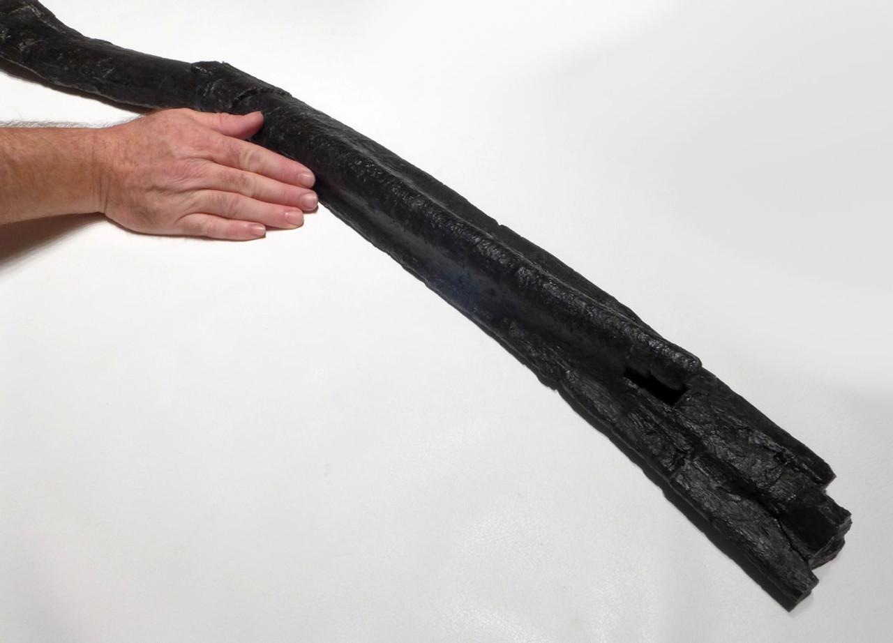 RARE CAMARASAURUS FOSSIL RIB BONE FROM A JURASSIC SAUROPOD DINOSAUR *DBX027