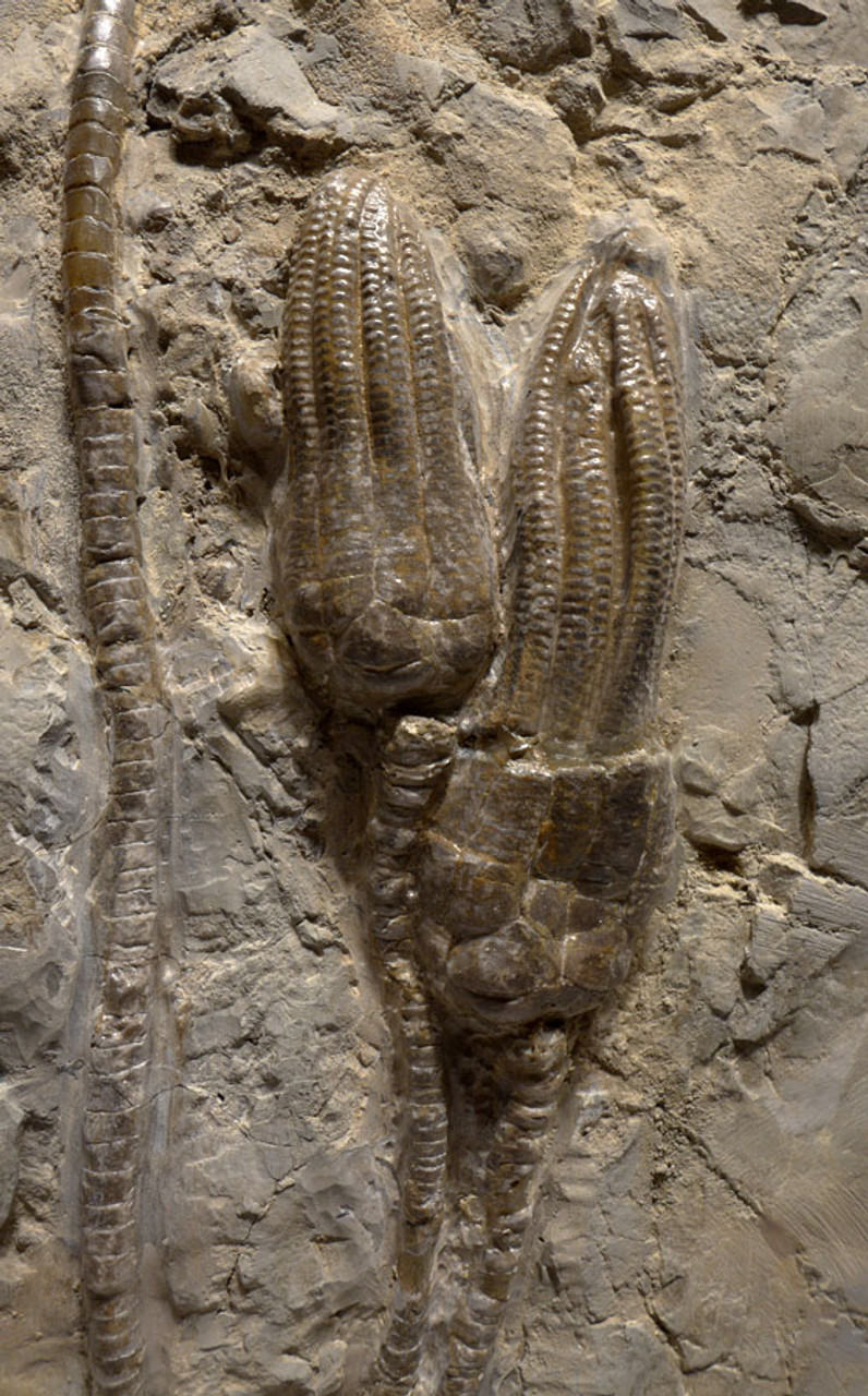 EXTRA LARGE MUSEUM-CLASS TRIASSIC SEA LILY FOSSIL FROM GERMANY WITH TEN CRINOIDS *CRI043