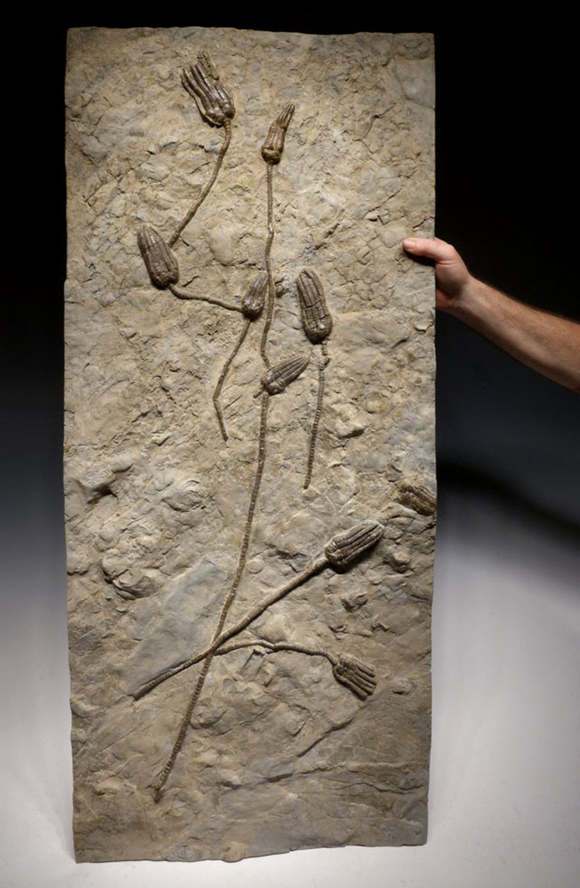 EXTRA LARGE MUSEUM-CLASS TRIASSIC SEA LILY FOSSIL FROM GERMANY WITH NINE CRINOIDS *CRI042