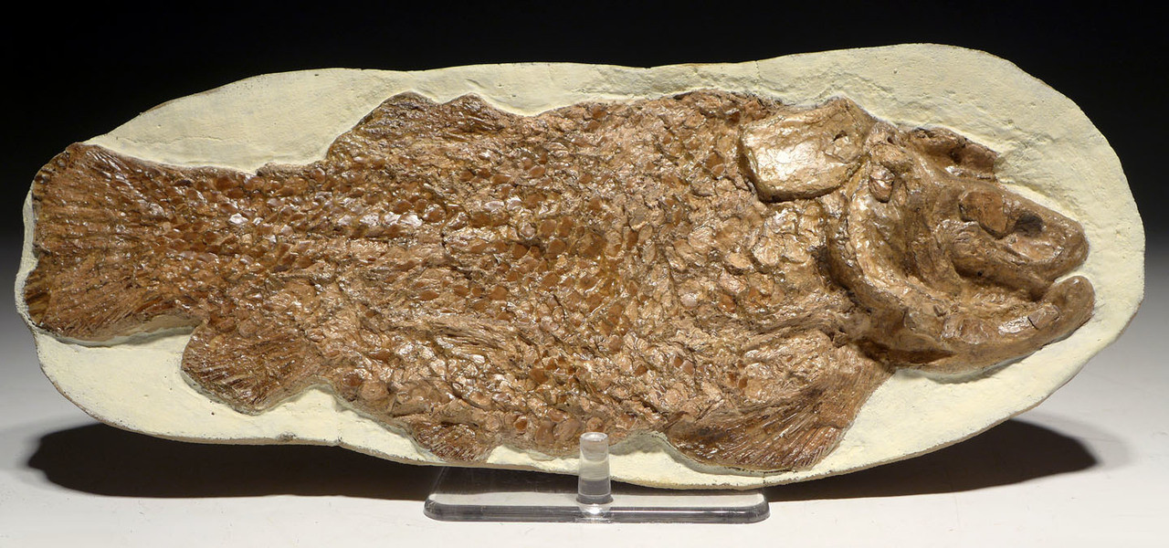 THREE-DIMENSIONAL DINOSAUR-ERA ARMORED FISH FOSSIL OF ARARIPELEPIDOTES *F135