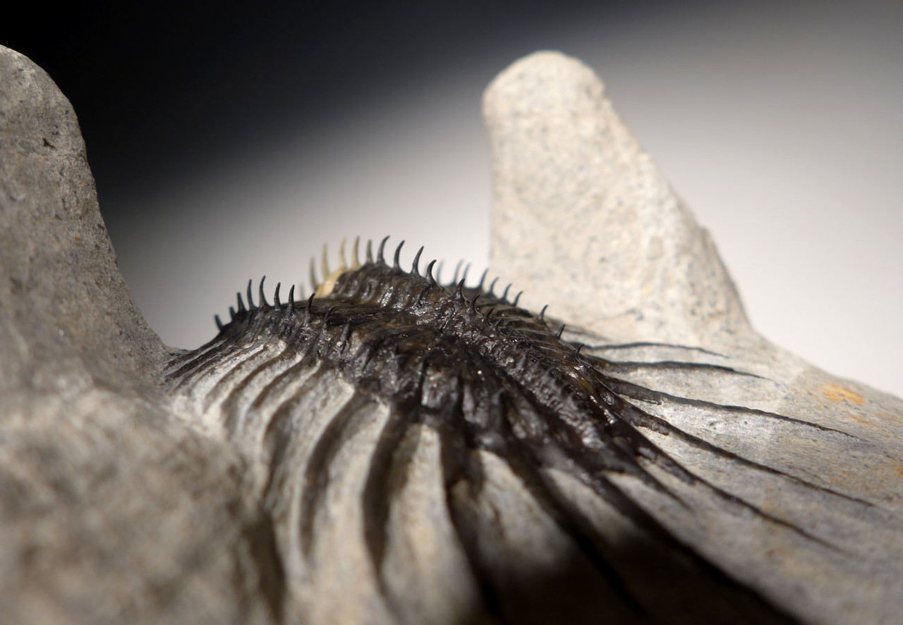 STUNNING BI-COLORED SPINY PSYCHOPYGE TRILOBITE WITH COMPLETE FREE-STANDING SPINES *TRX444