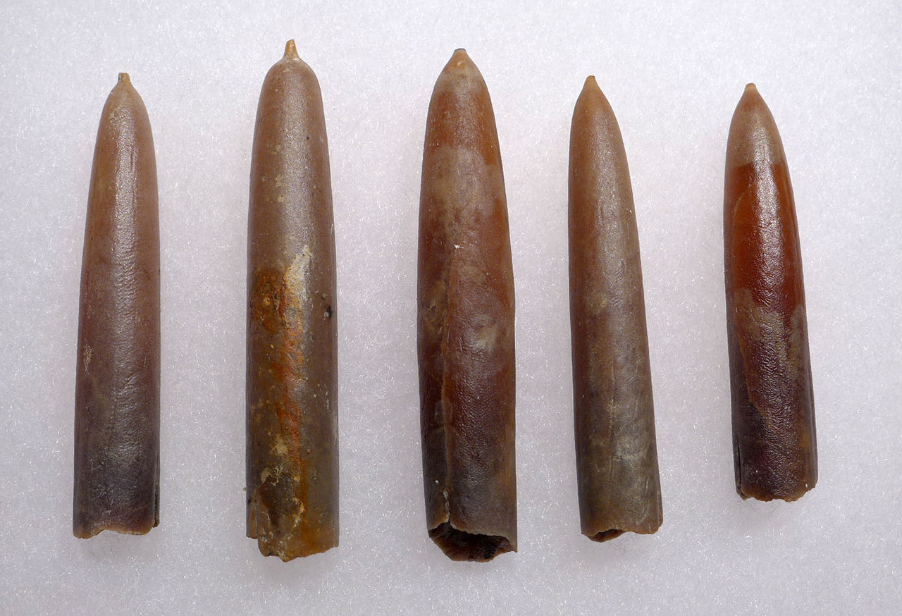 FIVE NATURAL GONIOTEUTHIS SOLID CALCITE BELEMNITES FROM THE CRETACEOUS PERIOD *BEL106