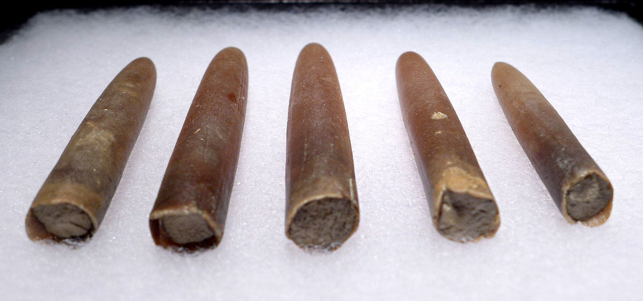 FIVE NATURAL GONIOTEUTHIS SOLID CALCITE BELEMNITES FROM THE CRETACEOUS PERIOD *BEL104