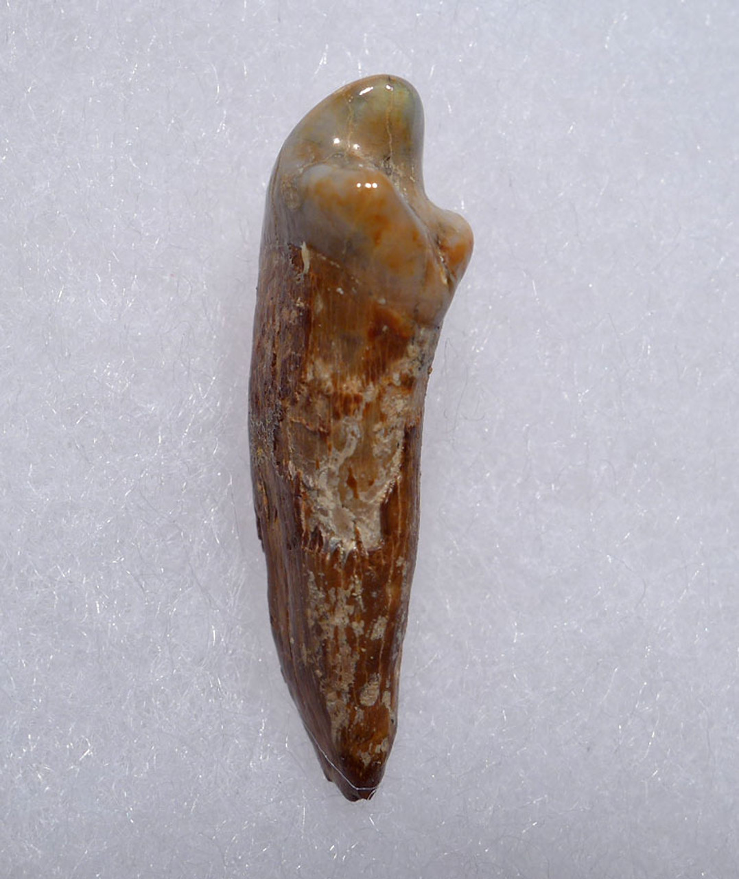 CAVE BEAR FOSSIL TOOTH WITH ROOT FROM THE FAMOUS DRACHENHOHLE DRAGONS CAVE IN AUSTRIA *CB016