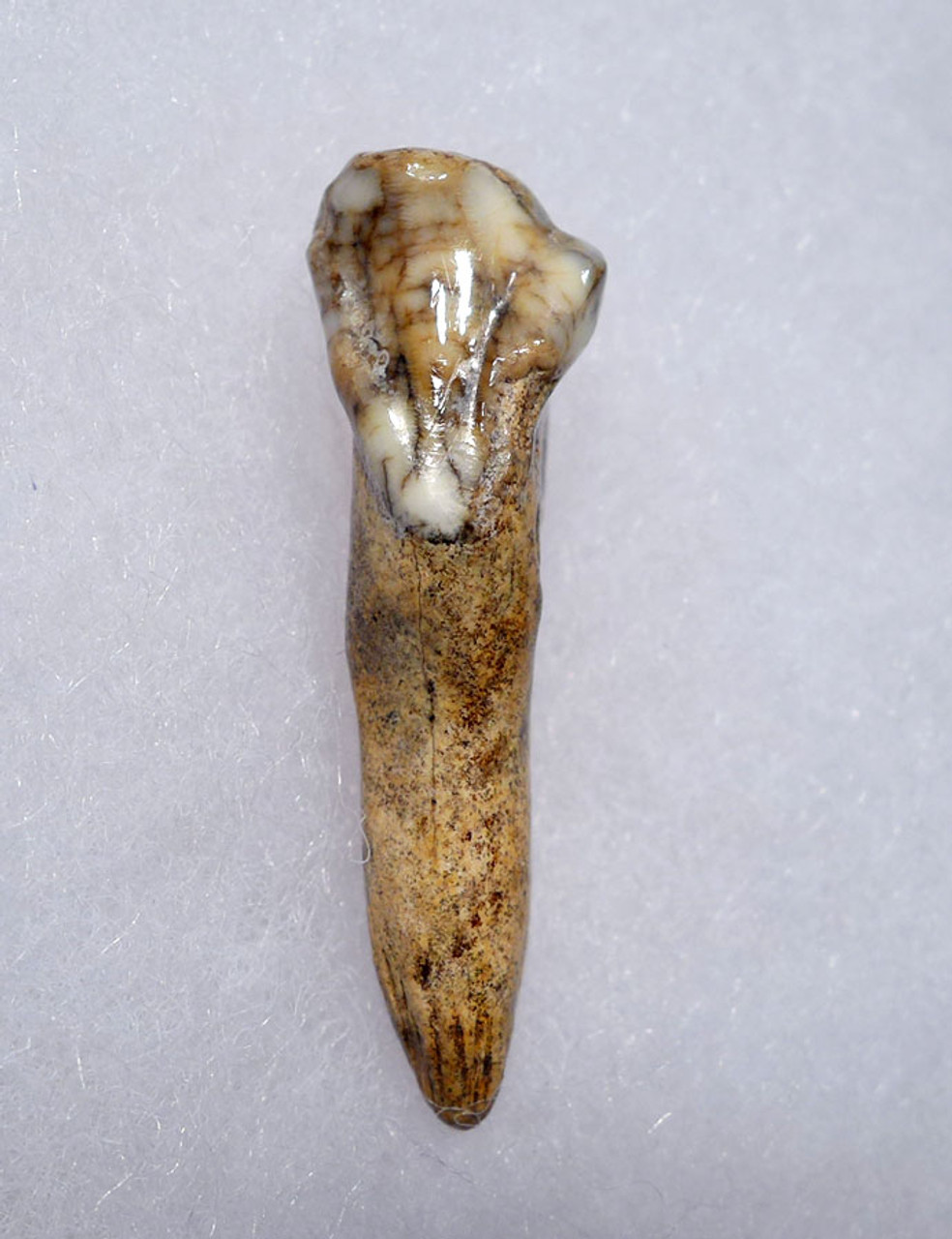 TOP QUALITY CAVE BEAR FOSSIL TOOTH WITH ROOT FROM THE FAMOUS DRACHENHOHLE DRAGONS CAVE IN AUSTRIA *CB008